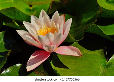 Water lily Nymphaea ( water lilies) - Aquatic vegetation, water plants