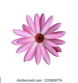 Water lily, Nymphaea lotus, Pink flower isolated on white background. with clipping path