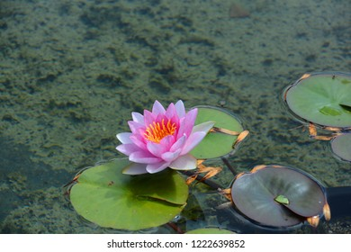 Water lily. Nymphaeaceae is a family of flowering plants. Members of this family are commonly called water lilies and live as rhizomatous aquatic herbs in temperate and tropical climates