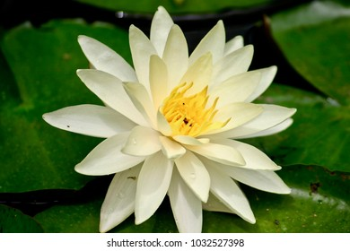 Water Lily (Nymphaeaceae sp.)