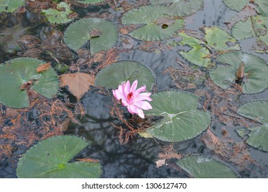 Water lily or nymphea is kind of hydrophytes of the lily family (Nymphaeaceae) The unigue pond with beautiful liles is in reserved park of Miskolc -famous resort in Hungary.