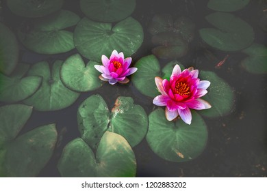 The water lily of the old pond is decorated with a colorful water lily.