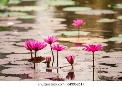 The water lily of the old pond is decorated with a colorful water lily,water plant with reflection in a pond