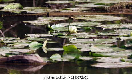 Water lily and plants.