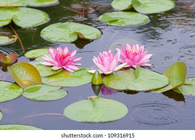 Water lily in the pond