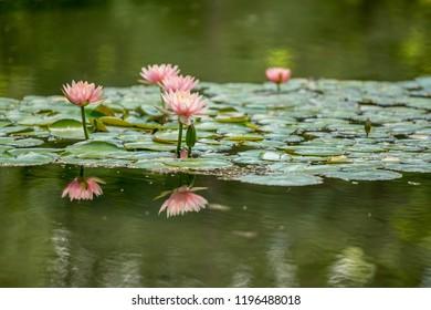 water lily pond spa Bojnice, Slovakia.