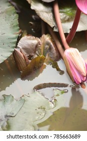 Water Lily, Red Lotus is blooming in the morning pool.: Nymphaea lotus Linn