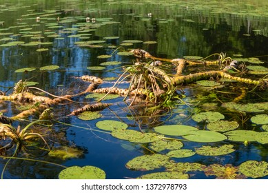 Water lily roots surface. Water lily flower. Tree root pattern. Tree roots. Lotus blossom. Herbal plant.