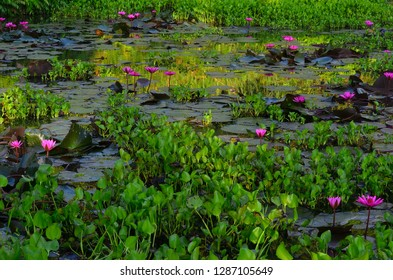 water lily in a stream of Con Lon