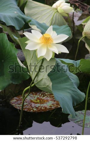 Water lily tall stalk white petals stock photo edit now 537292798 water lily with tall stalk white petals and yellow crown mightylinksfo