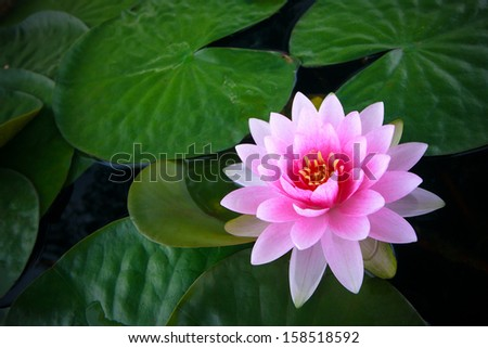 lily thai Pink