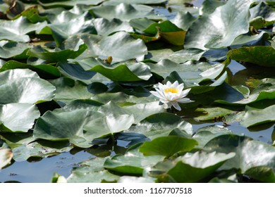 Water lily in a village pond