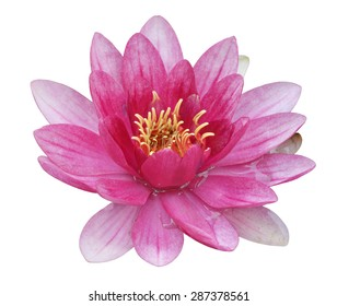 water lily in white background for designer