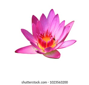 Water lily,Nymphaea stellataWild, Lotus flower isolated on white background. with clipping path