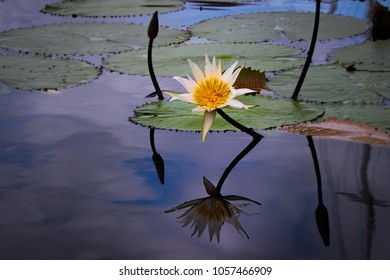 Water Lilys reflecting in the lake, flowers on the water