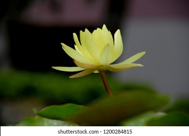 Water Lotus Flower kamal