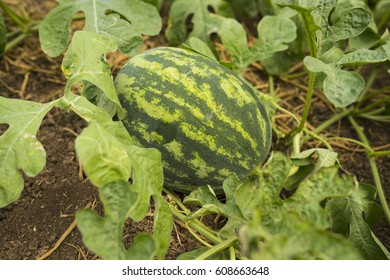 Water melon and plant.