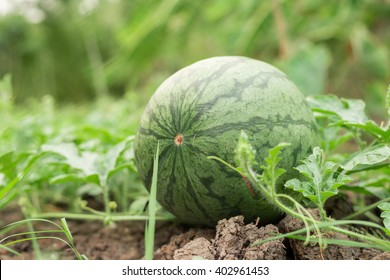 water melons on the ground