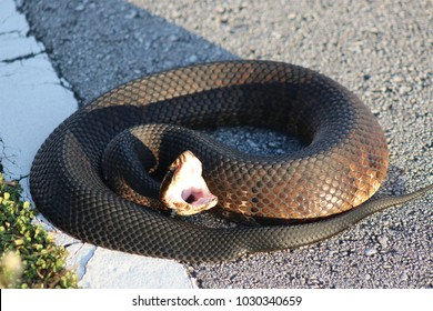 a water moccasin