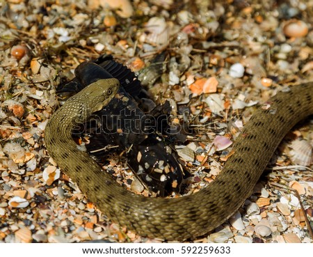 Water Moccasin Agkistrodon Piscivorus Eating Male Stock Photo Edit