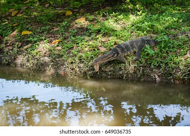 Water monitor Live in nature on green grass. And near the marsh in thailand