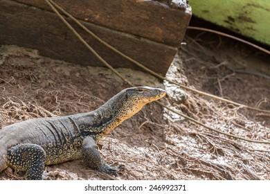 Water monitor lizard at Kinabatangan river