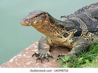 Water monitor lizard (Varanus salvator) basking in Lumpini park in Bangkok, Thailand.