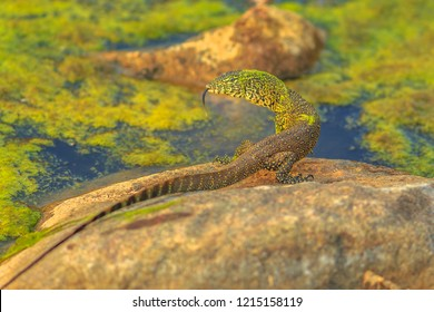 Water monitor lizard: Varanus Saved. Large African lizard living in the Kruger National Park, South Africa in the water areas near the Olifants River.