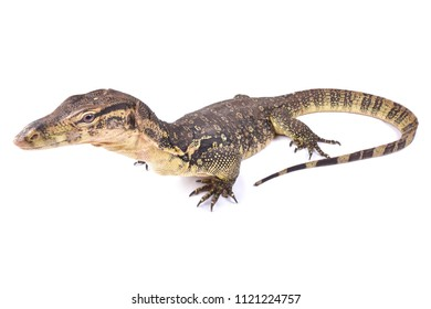 The water monitor (Varanus salvator) is a large lizard native to South and Southeast Asia. The Asian water monitor are among the largest lizards in the world