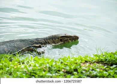 Water Monitor (Varanus salvator) is swimming in the pond.