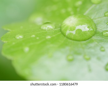 water on Centella asiatica leaves