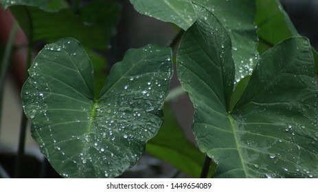 Water on colocasia leaves or hydrophobic