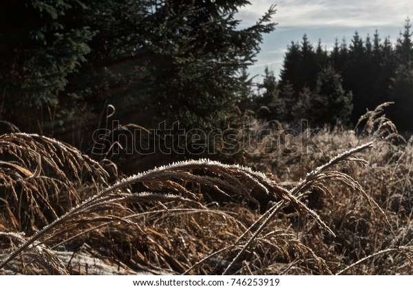 Water on dry grasshalms in a forest