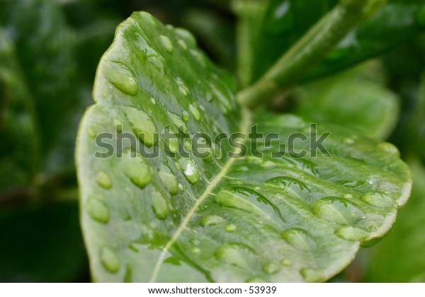 Water on leaves 1
