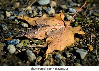 Water on Maple Leaf