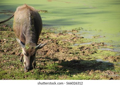 water ox