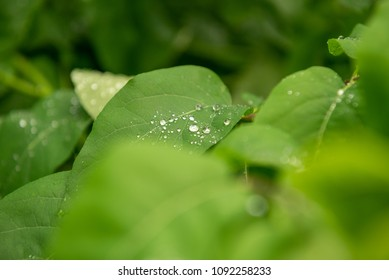 Water pearls on a green leaf after the rain