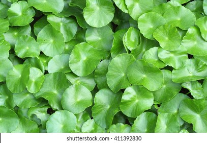 Water Penny wort or green leaf background