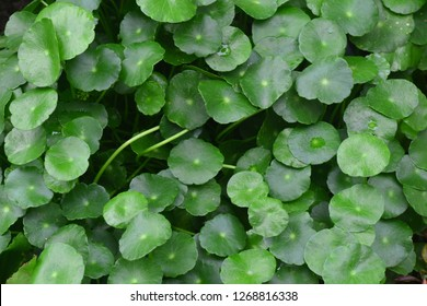 Water Pennywort,  the genus Hydrocotyle, known as Indian Pennywort, Marsh Penny, Thick-leaved Pennywort and even White Rot- quatic or semi-aquatic plants such as the edible Dollarweed