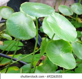 Water pennywort, Kaempferia rotunda L., Kaempferia longa Jacq., Kaempferia versicolor Salisb., Zerumbet zeylanica Garsault