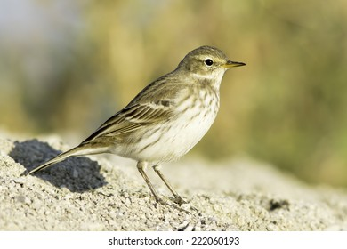 Water pipit  in natural habitat - close up / Anthus spinoletta