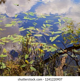 Water plants floating and colorful reflections on Blackwater River, Florida, one of the purest remaining sandbottom rivers in the world.