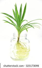 water plants in glass vase isolated on white background