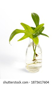 Water propagation Philodendron Florida Ghost tropical indoor houseplant in a transparent glass bottle isolated on white background. Urban Jungle, repotting or potting houseplants.