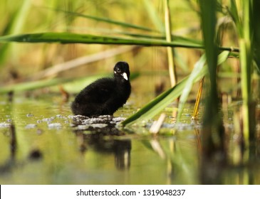 Water rail puppy