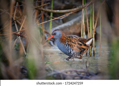 Water rail, Rallus aquaticus, bird of wetlands across Europe in its natural environment. Water rail in breeding colors, hidden in reed beds. Bright orange beak. Wetlands of Morava river, Europe