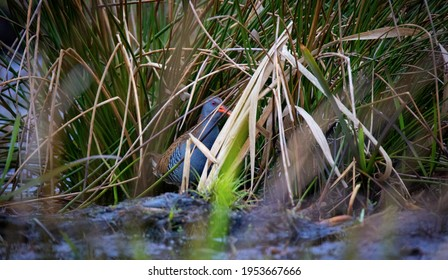 Water Rail Rallus aquaticus looking for food in the reeds and mud, the best photo. - Shutterstock ID 1953667666