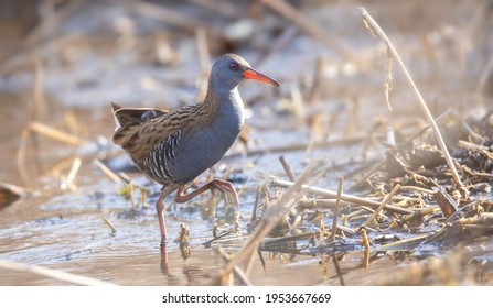 Water Rail Rallus aquaticus looking for food in the reeds and mud, the best photo. - Shutterstock ID 1953667669