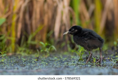 Water Rail - Rallus aquaticus - one week old chick feeding at a wetland - Vilnius county, Lithuania