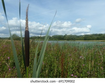 Water reed with a castle in the background